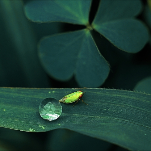 Field Macro Photography. A tiny water droplet and beside it a tiny insect.